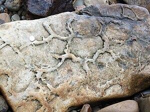 Mudcrack - Ancient mudcracks preserved on the base of a bed of sandstone