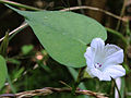 Ipomoea lacunosa - Small White Morning Glory.jpg