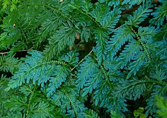 Selaginella - Selaginella willdenowii is known for its iridescent colours
