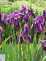 Iris germanica10.jpg