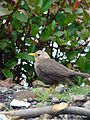 Island thrush (Turdus poliocephalus).jpg