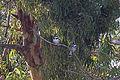 Israel. Pied Kingfishers (6497644865).jpg