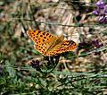 Issoria lathonia (Sofia) - Flickr - S. Rae.jpg