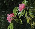 J20170420-0024—Rhododendron macrophyllum—RPBG—DxO (33781236330).jpg