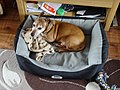 Jackshund in dog bed.jpg