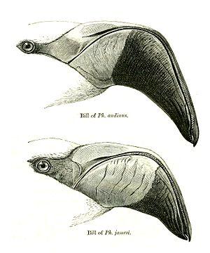 James's flamingo - Comparison of bills of Andean flamingo (top) and James's flamingo (bottom)