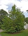 Japanese Stewartia Stewartia pseudocamellia Tree 2000px.jpg