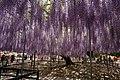 Japanese wisteria, Ashikaga Flower Park 1.jpg
