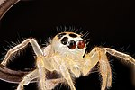 Jumping-Spider,on-fish-hook-eyes 2012-08-02-16.13.51-ZS-PMax (7700432994).jpg