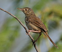 Jungle Prinia (Prinia sylvatica) in Hyderabad, AP W IMG 1329.jpg