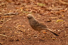 Jungle babbler sree.jpg
