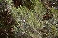 Juniperus II.jpg