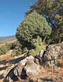 Juniperus oxycedrus 20120826 1.jpg