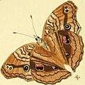 Junonia almana wet season form illustration.v.jpg