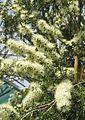 Kānuka-Baum (Kunzea aff. ambigua).jpg