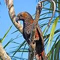 Kaka (Nestor meridionalis)- Wellington -NZ-8-2c.jpg