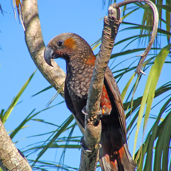 File:Kaka (Nestor meridionalis)- Wellington -NZ-8-2c.jpg