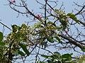 Kalo Gamdo (in Konkani) (3300964022).jpg