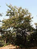 Kanchan tree Bauhinia variegata by Dr. Raju Kasambe DSCN0979 (9).jpg