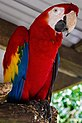 Karunda Scarlet Macaw-2 (8233842374).jpg
