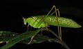 Katydid (Tettigoniidae) (8727038698).jpg