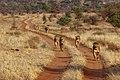 Kenya, Safari (45204285685).jpg
