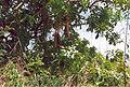 Kigelia africana.jpg