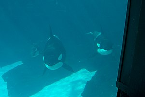 Three killer whales in a tank at Sea World in ...