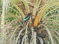 Kingfisher - Ram Chirya.jpg