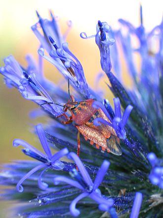 Echinops - Echinops adenocaulos with a shield bug