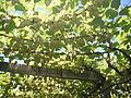 Kiwifruit Hort16a Gold.JPG