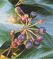 Klimop vruchten (Hedera helix fruits).jpg