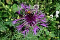 Knapweed and guest (Gru) (31603018490).jpg