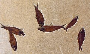 Knightia - Slab of fossilized Knightia eocaena  from Fossil Butte National Monument