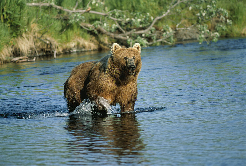 File:Kodiak Bear at Dog Salmon Creek, USFWS 11389.jpg