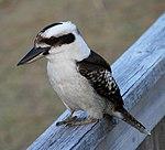 Kookaburra 3 (31247072525).jpg