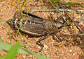Koppie Foam Grasshopper (Dyctiophorus spumans) (11902325315).jpg