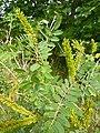 Korina 2011-07-28 Amorpha fruticosa.jpg