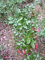 Korina 2011-08-02 Mahonia aquifolium.jpg
