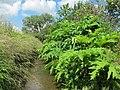 Korina 2012-06-12 Heracleum mantegazzianum.jpg