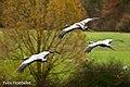 Kraanvogel-1 (15740479036).jpg