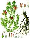 Krameria lappacea - Köhler–s Medizinal-Pflanzen-084.jpg