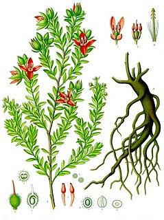 <i>Krameria</i> genus of plants