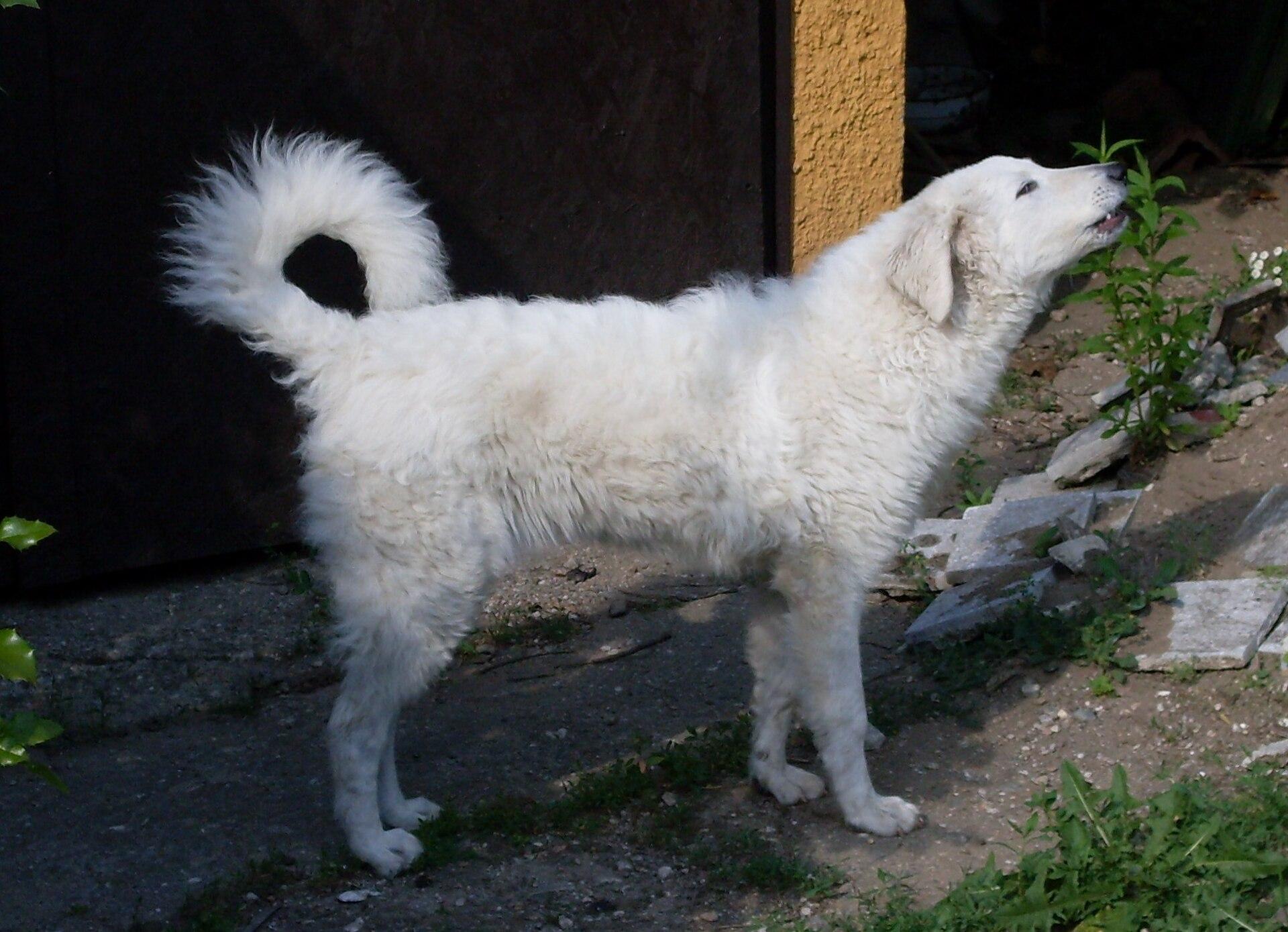 Kuvasz - Dog Scanner