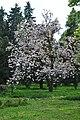 Kwitnąca magnolia w parku w Charzewicach.JPG