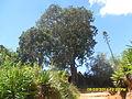 L'arbre sacré Hitsikitsika à Fonohasina Ambohidrabiby.JPG