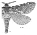 LEPI Hepialidae Aoraia macropis m1 dark form.png