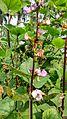 Lablab purpureus plant & flowers 09.jpg
