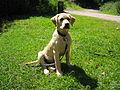 Labrador Chez on Hills (2265528002).jpg