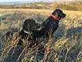 Labrador Retriever.jpg